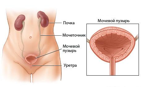 здоровый мочевой пузырь у женщины
