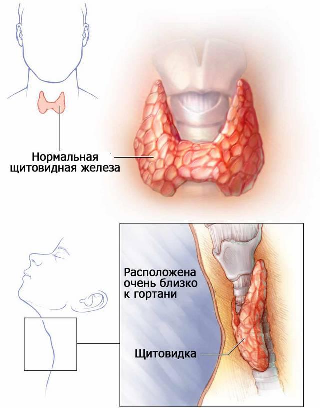 Норма щитовидной железы