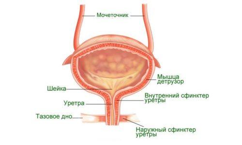 Мочевой пузырь человека расположен в малом тазу, а его емкость составляет от 350 до 750 миллилитров